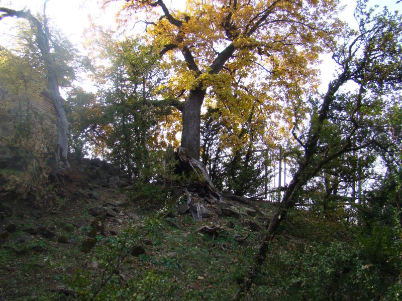 Oak tree at Tsinandali