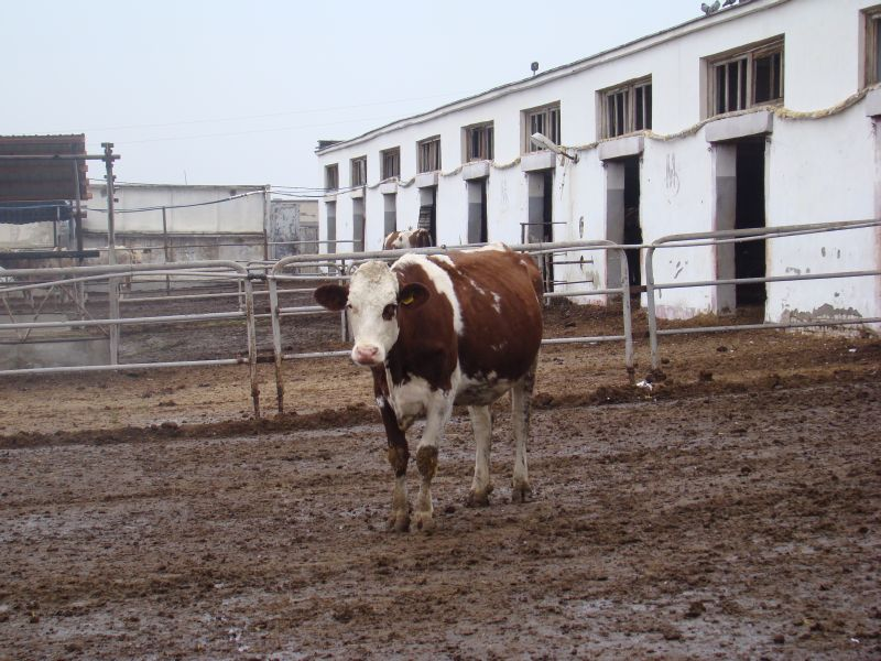 Speckled cow