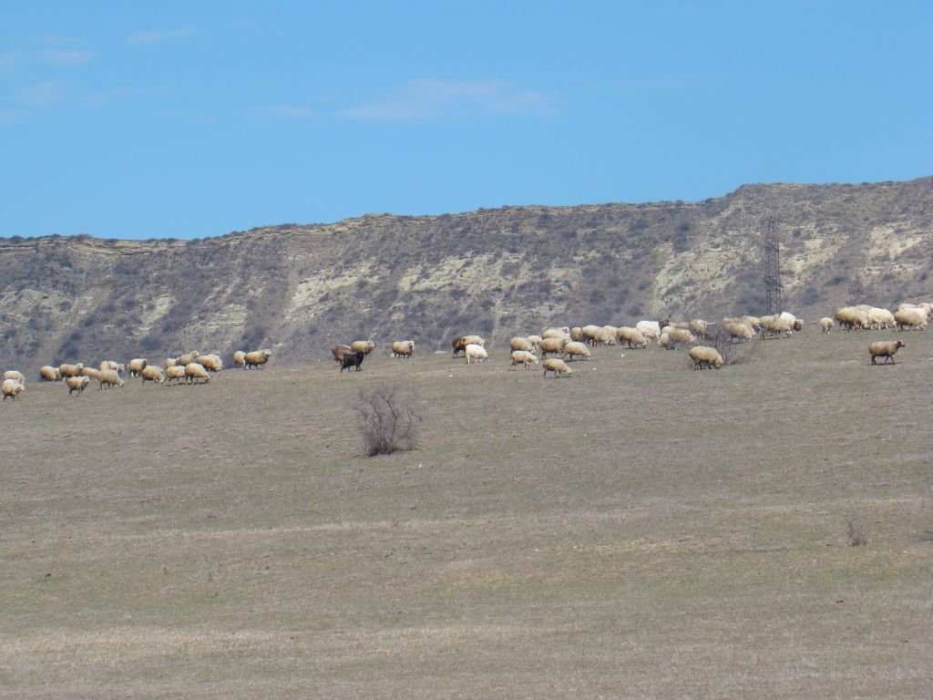 Sheep's near Lisi Lake
