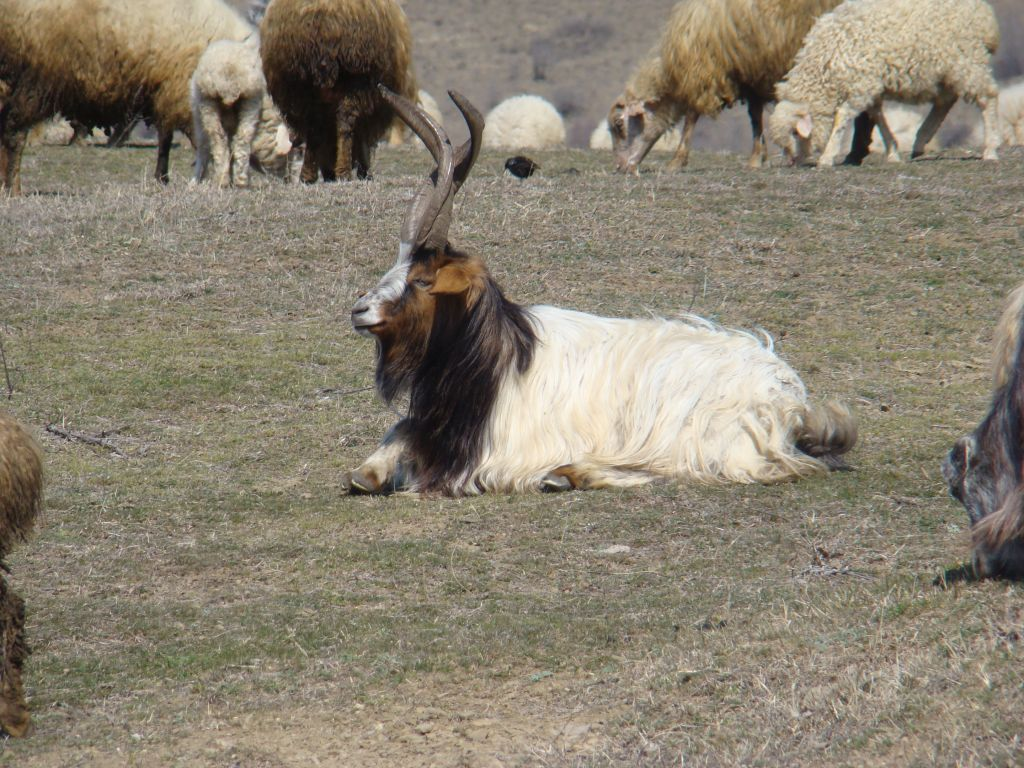 Georgian mountain goat with horns
