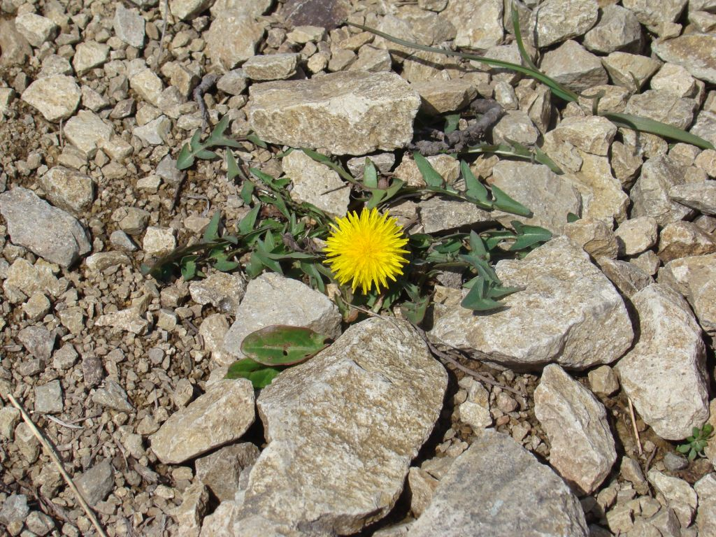 Dandelion at Birtvisi Canyon