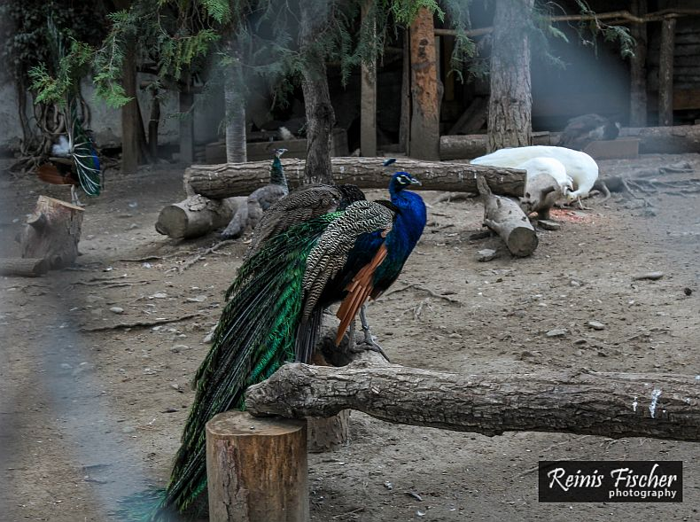 Peacocks at Tbilisi Zoo