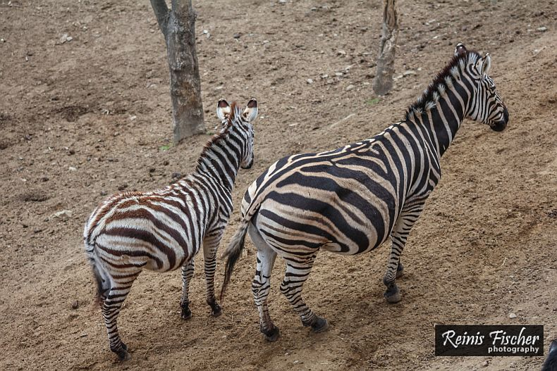 Zebras at Tbilisi zoo