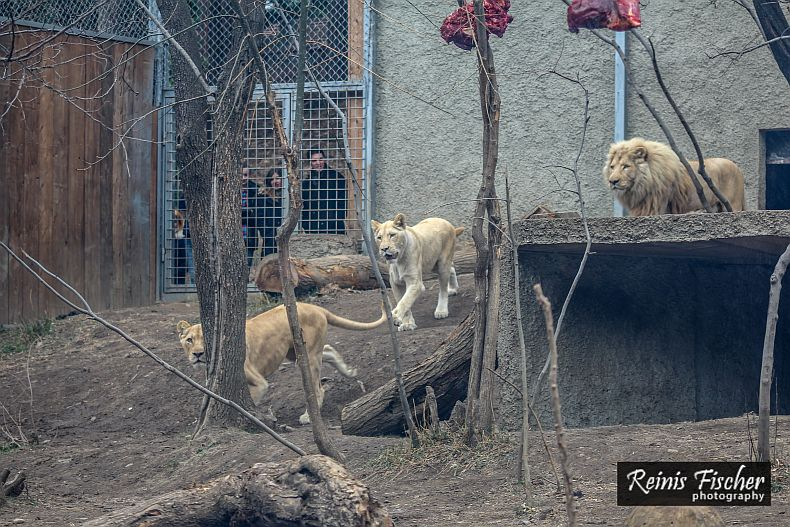 Meal time for white lions