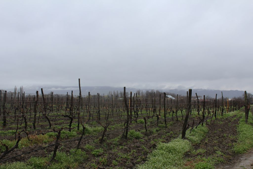 Vineyards at Château Mukhrani