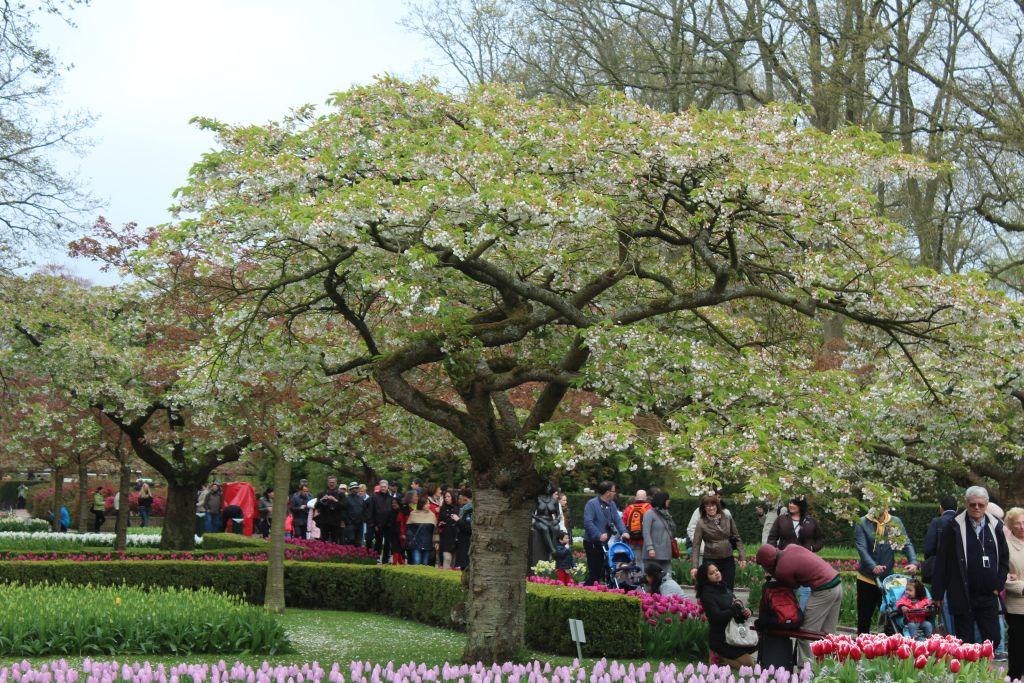 Blooming tree at Keukenhof