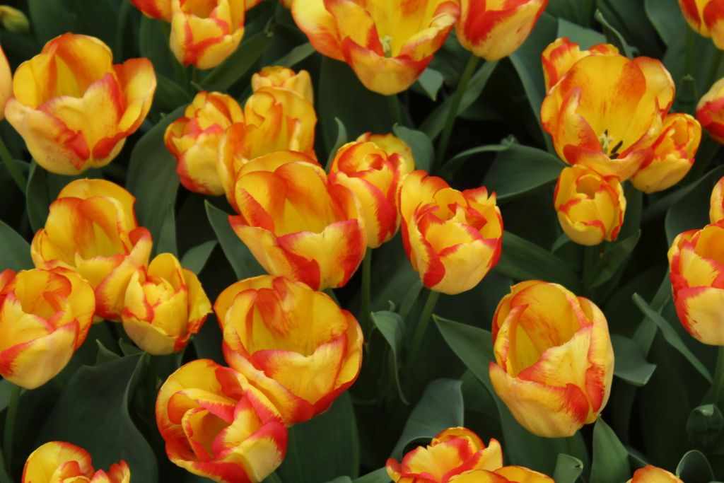 Yellow tulips with red stripes