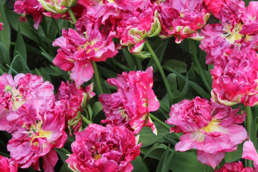 Another variation of tulips