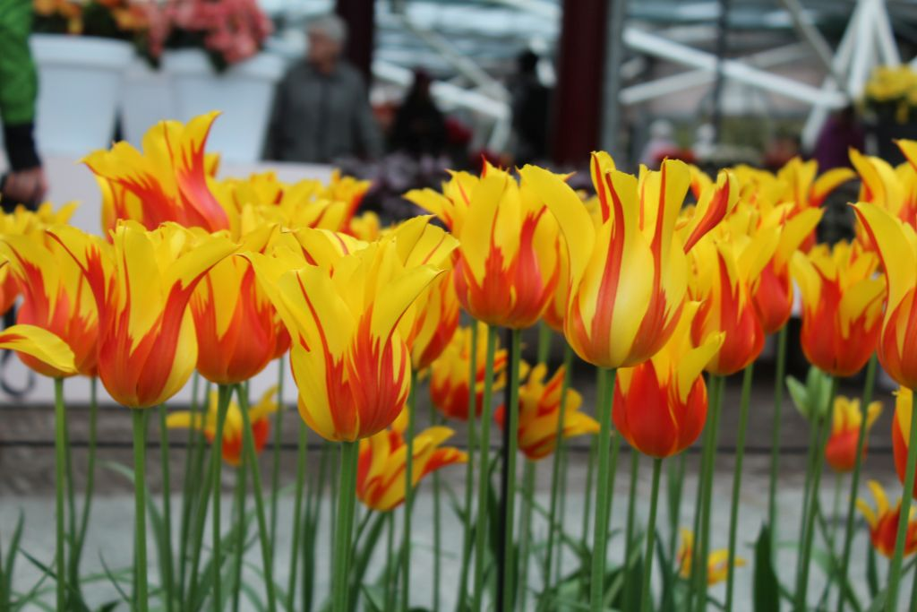 Yellow tulips with red stripes at Keukenhof
