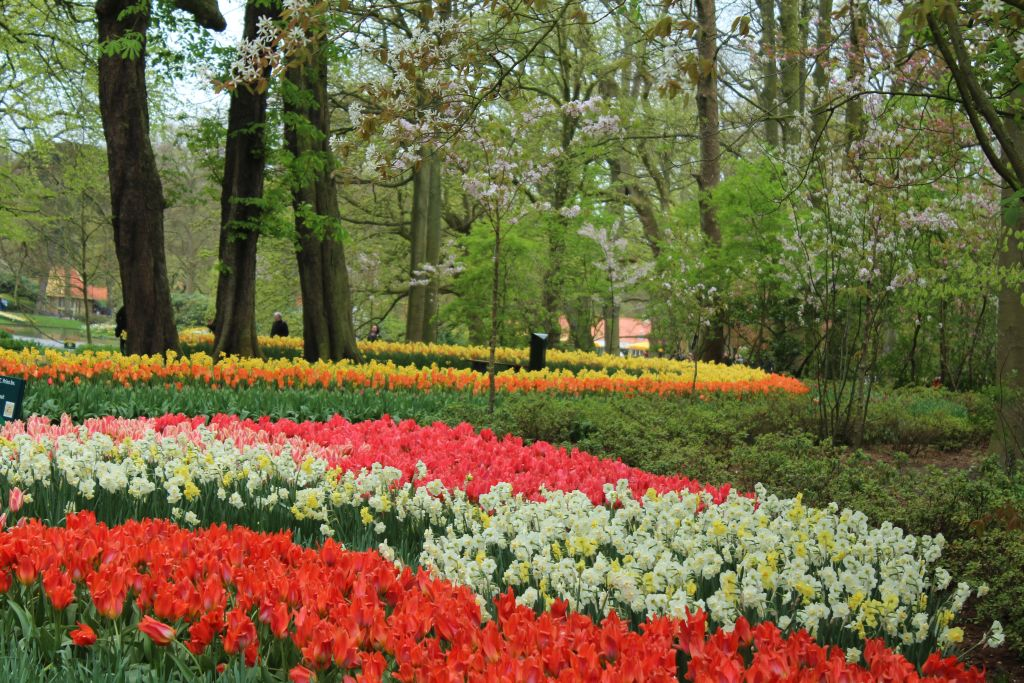 Blooming tulips at trees at Keukenhof