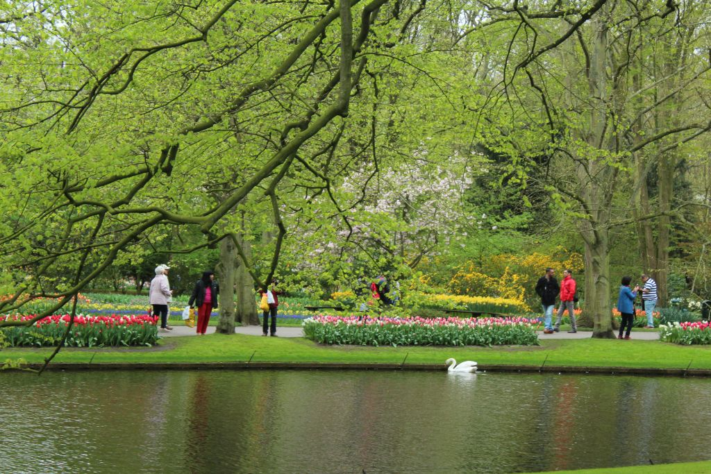 Tulips and swans and Keukenhof