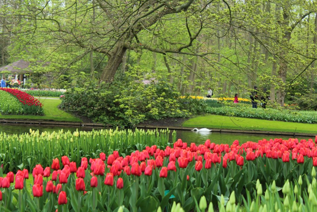 Tulips and a swan in background