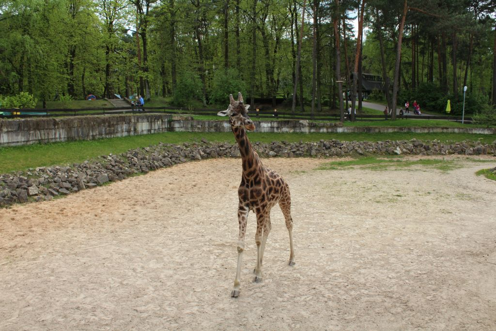 Giraffe at Zoo