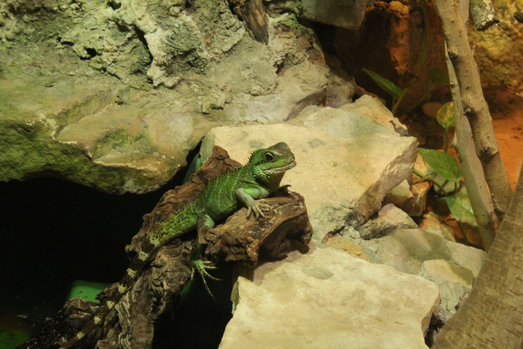 Lizard at Riga zoo