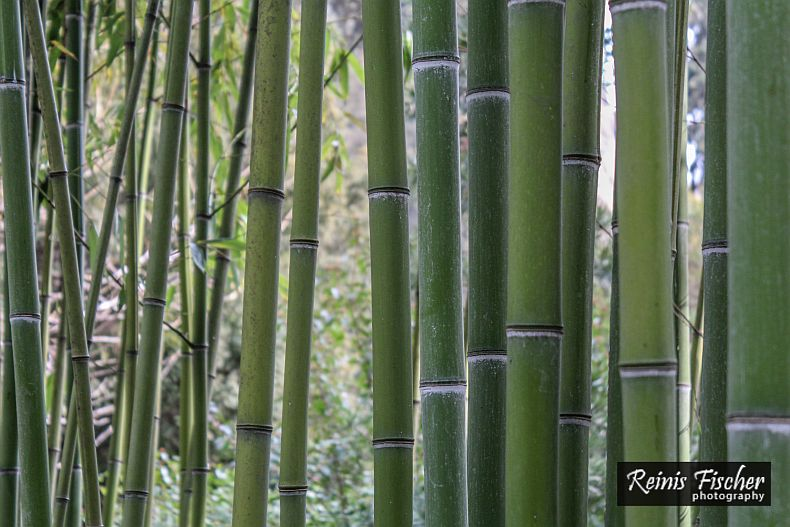 Bamboo grove at Tbilisi botanical garden