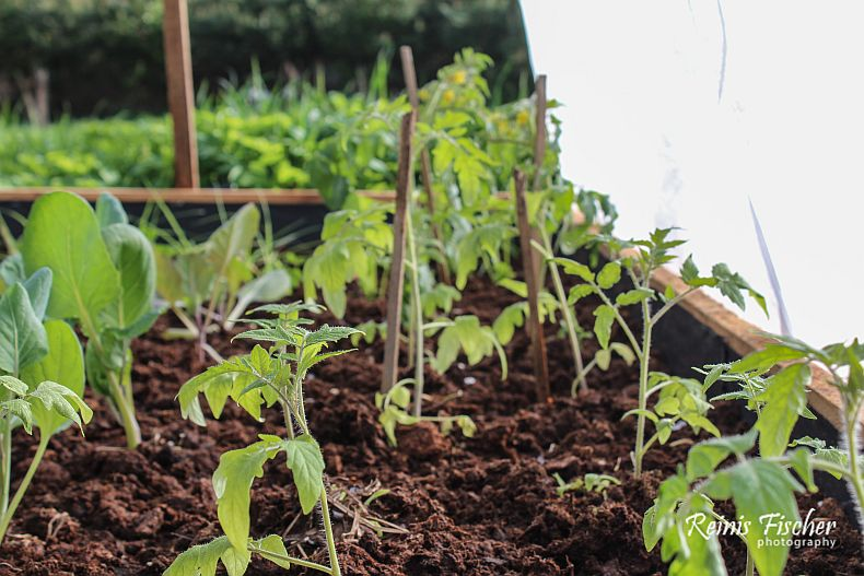 Plants of tomatoes