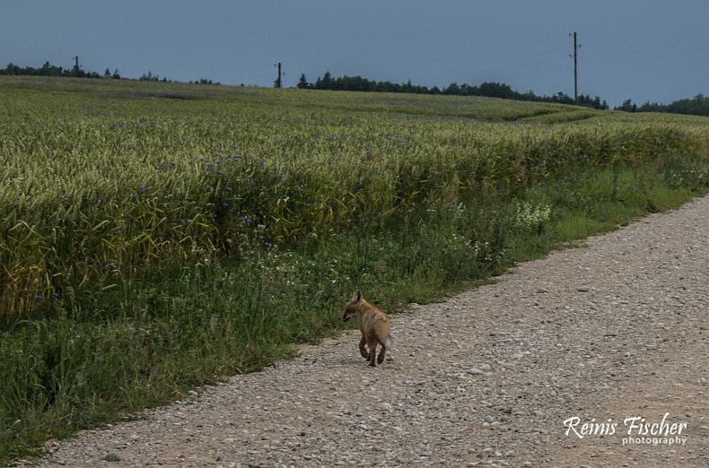 baby fox on the road