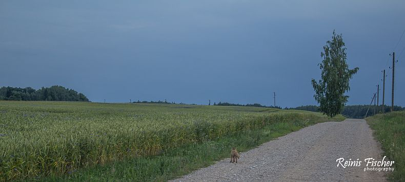 road and the fox