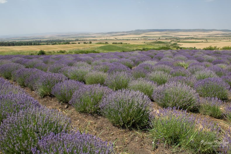 Nukriani lavender field in Georgia