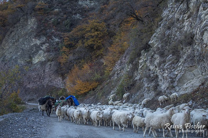 Shepherd forcing sheep in Georgia