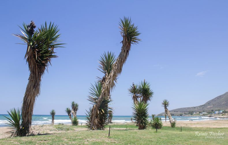 Palms near La Playa Taverna Cafe Ouzeri