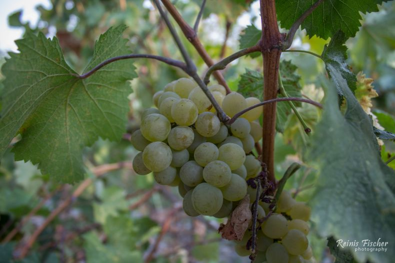 Grapes at vineyard