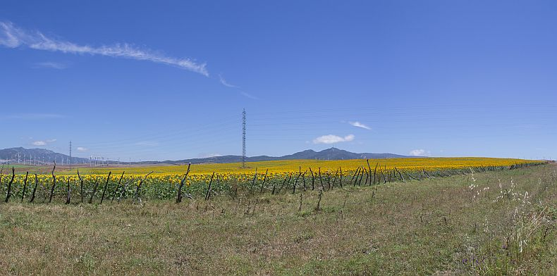 Sunflower fields in Spain