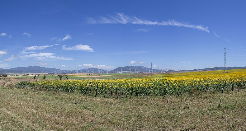 Sunflower fields and Wind generators